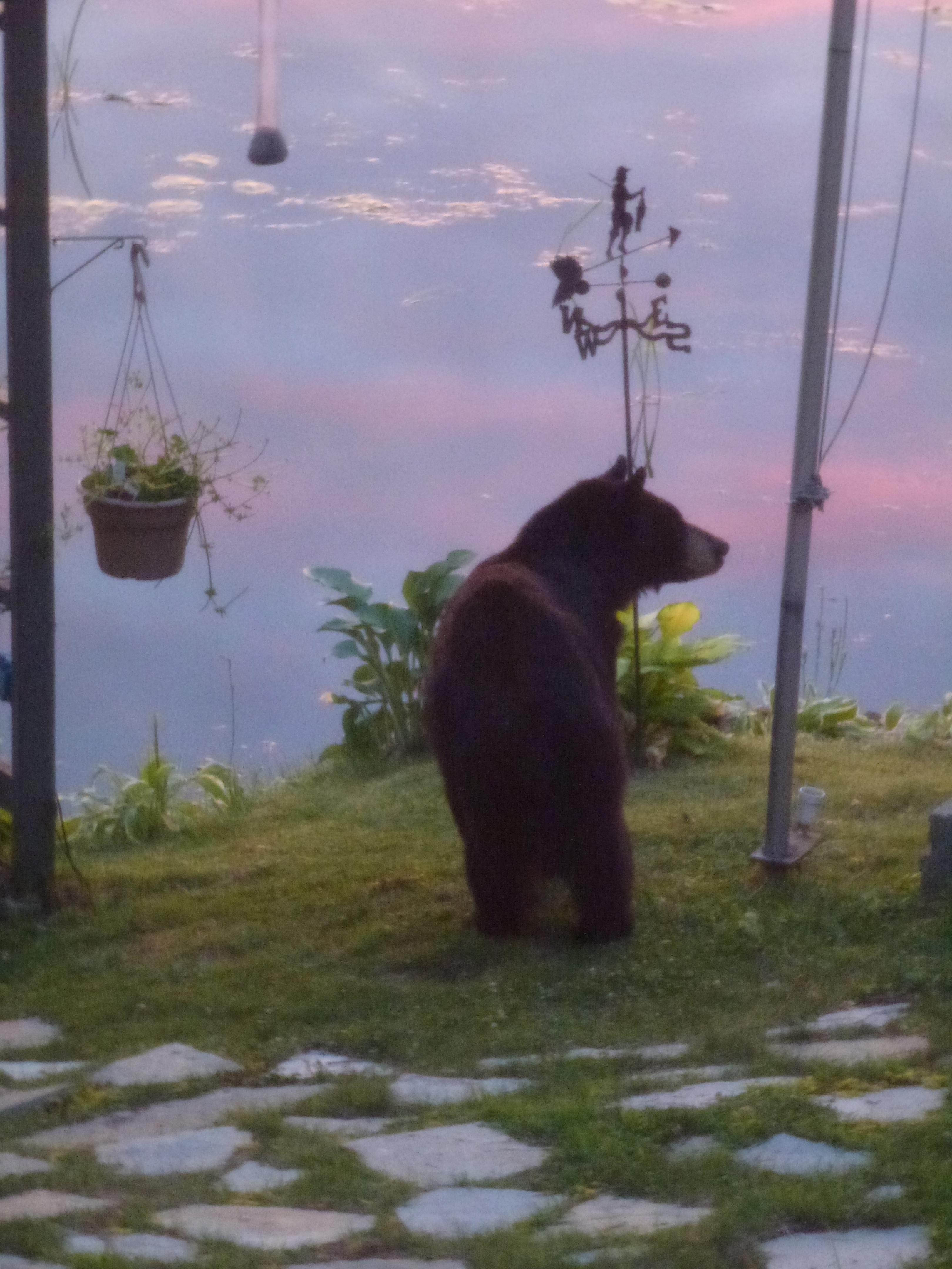 P1040932 Black Bear at Sunrise