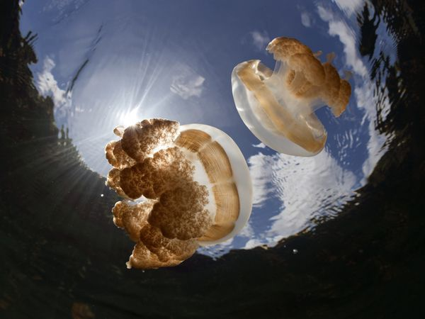 golden-jellyfish-in-jellyfish-lake_24701_600x450