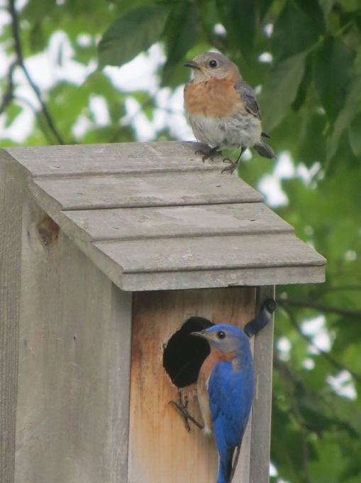 Bluebirds at Northern Bliss (photo by Holly Ricke)