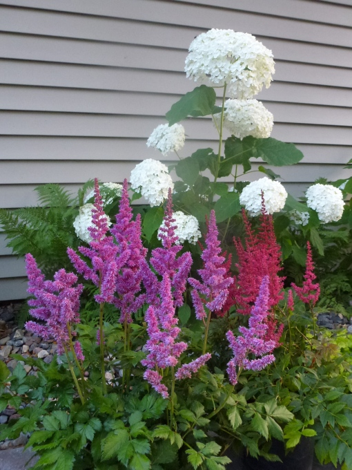 P1080860 Astilbe and Hydrangea
