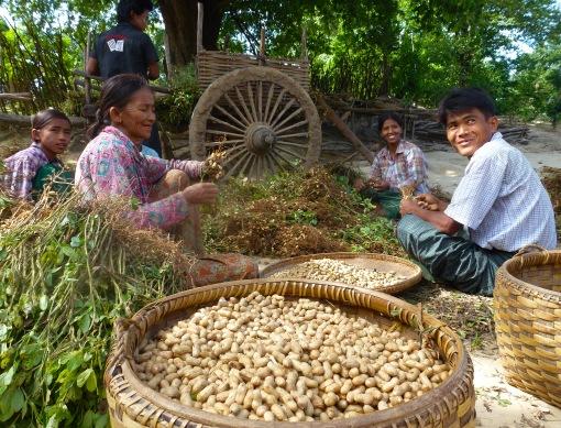 Villagers harvesting peanuts