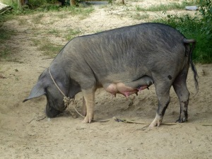 The family pig