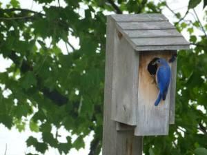 10447874_10152272367081843_321612176003547025_n bluebird outside bird house from timeline