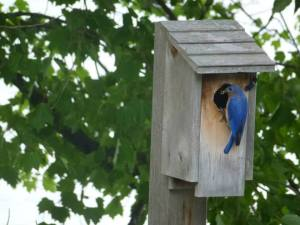 10447874_10152272367081843_321612176003547025_n bluebird outside bird house from timeline