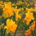 277391_10152408738926843_3375494461984936551_o Field of daffodils from timeline
