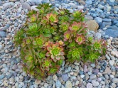 Xeriscaping with rocks and succulents
