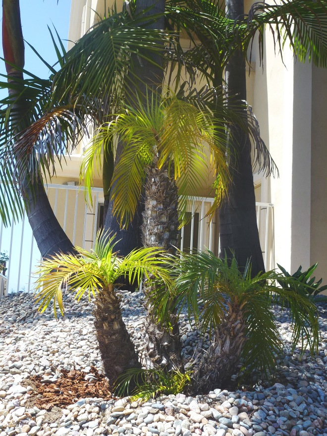 Palm trees used in xeriscaping