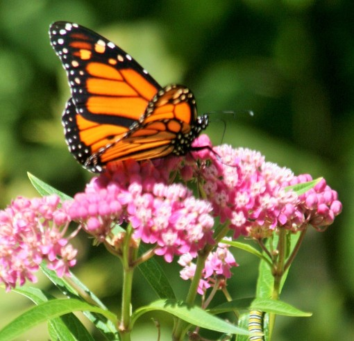A Monarch Butterfly alights on a Swamp Milkweed blossom.