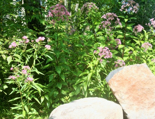 Swamp milkweek at the perimeter of the Rain Garden leads to a natural planting of Joe Pye weed.