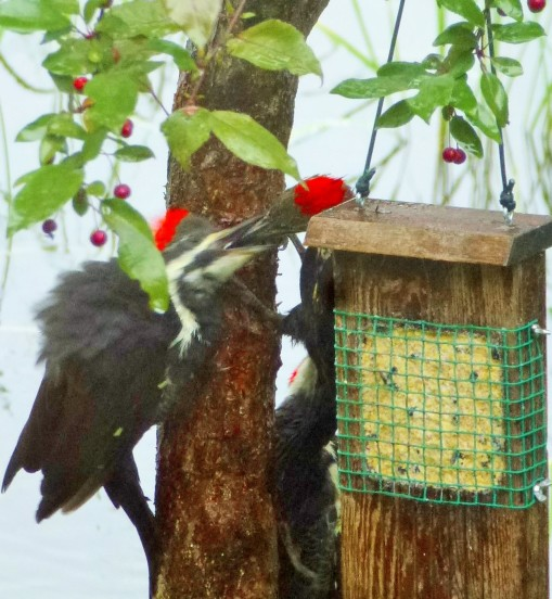 Feeding the younger pileated woodpecker.
