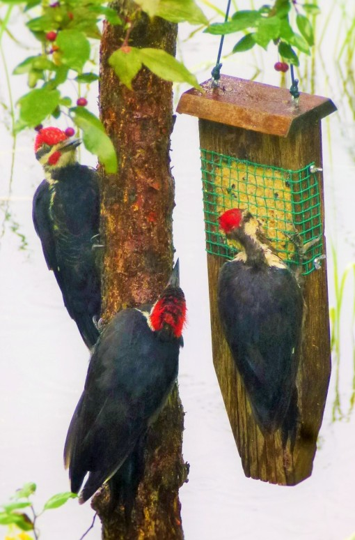 Our family of three pileated woodpeckers.