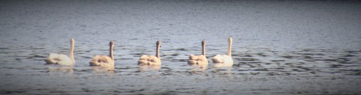 Family of FIve Trumpeter Swans