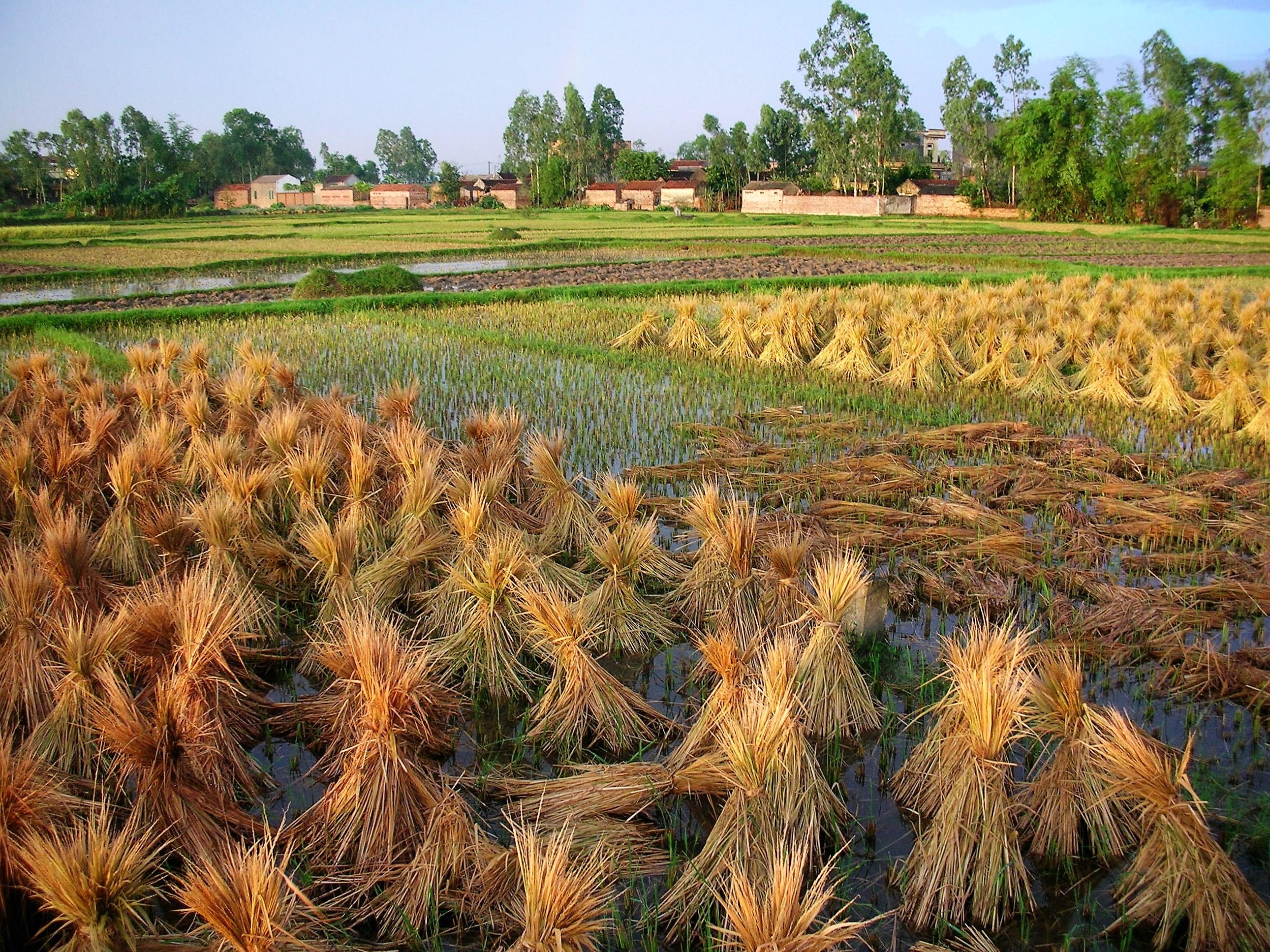 DSCN2056 (2) Rice Fields of Vietnam