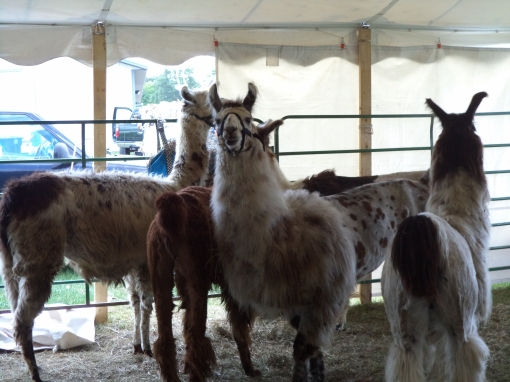 DSC00440 - Copy Llamas in a 4-H exhibit..JPG