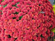 dsc01526-2-mums-are-the-last-of-the-flowers-to-fade