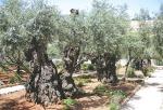 Olive Trees, Garden of Gethsemane, Jerusalem, Israel, Jesus, The Long Way Back