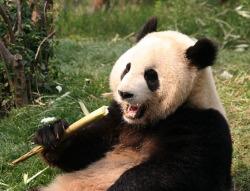 Panda, Chengdu, China, The Long Way Back