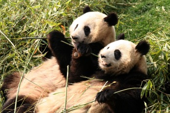 10_TWO_PANDAS_IN_SYNC