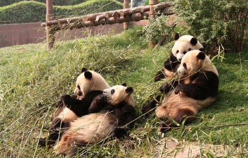 Pandas, Chengdu, China, The Long Way Back