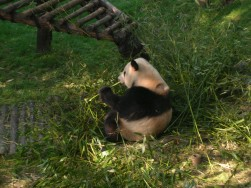 Panda, Chengdu, China, The Long Way Back