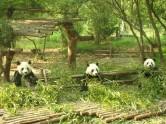 Pandas, Chengdu, China, The Long Way Back