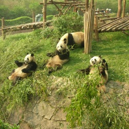 Panda, Pandas, Reserve, Chengdu, China, The Long Way Back