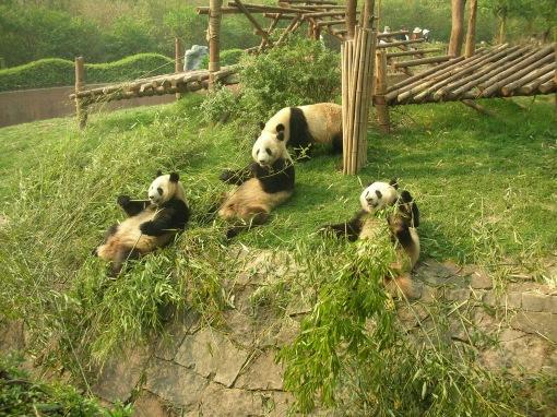 Panda, Pandas, Reserve, Chengdu, China, The Long Way Back