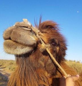 Uzbekistan camels