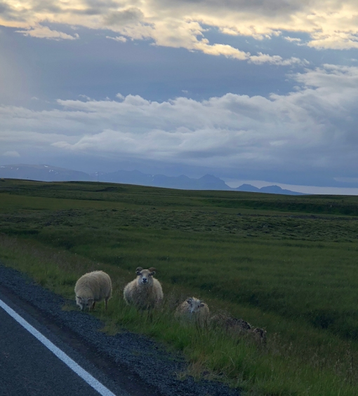 Iceland Sheep On the Ring Road