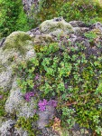 Iceland has over 600 species of moss.