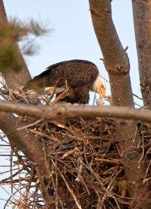 Eagle at White Ash Lake
