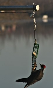 Pileated Woodpecker at feeder