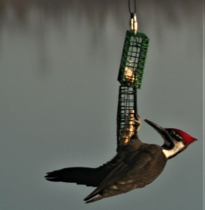 Pileated Woodpecker close up