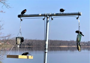 Red wing blackbirds at T feeder