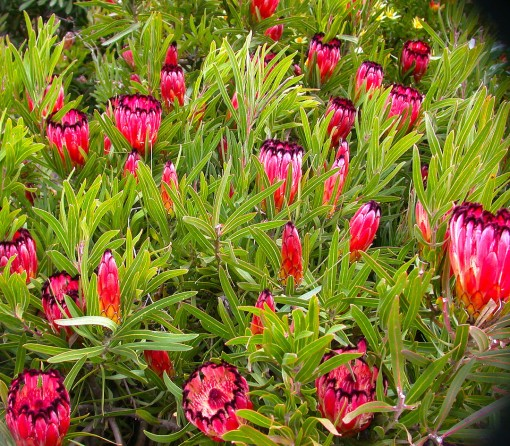 Field of proteas