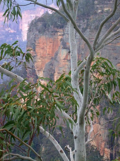 Eucalyptus against limestone