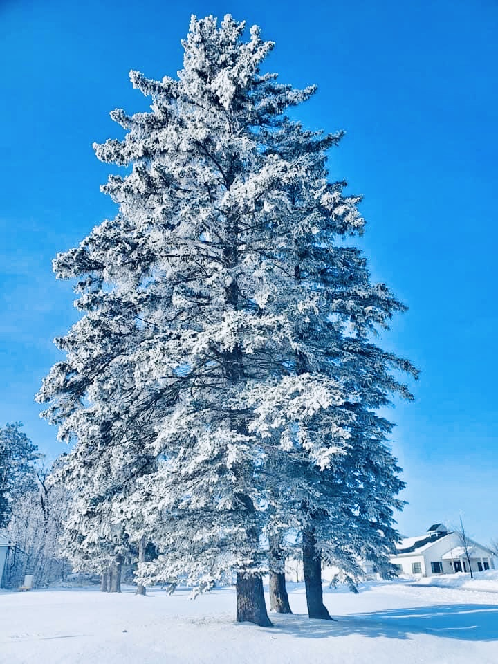 Frosted Evergreen