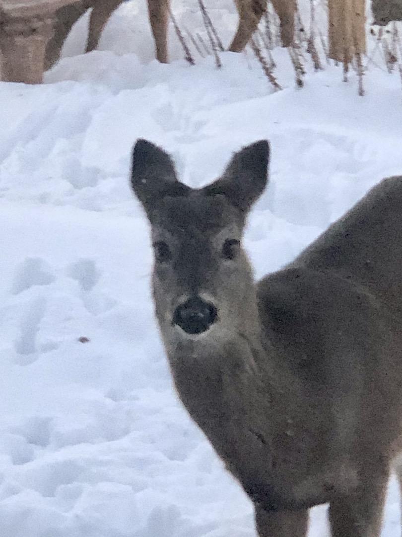 Deer outside window