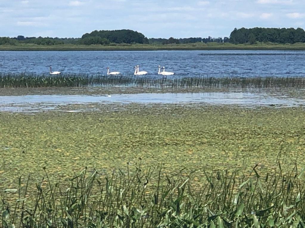Swans5