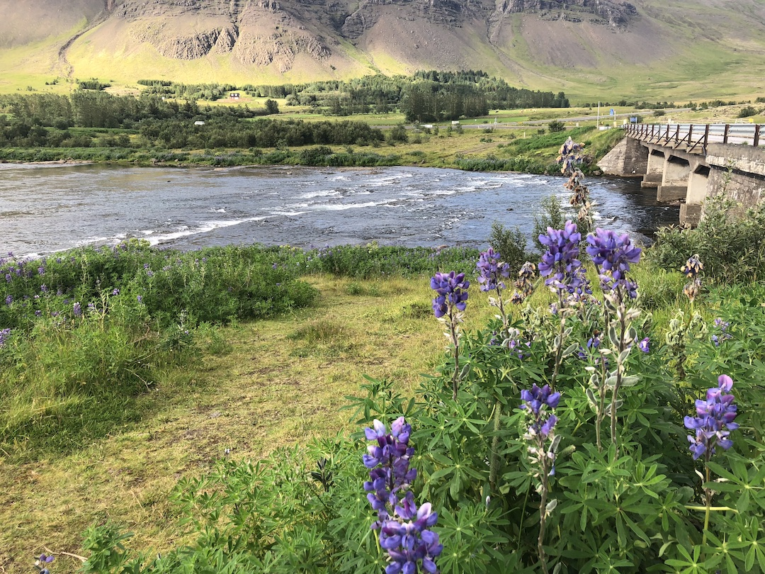 Lupines along stream Iceland