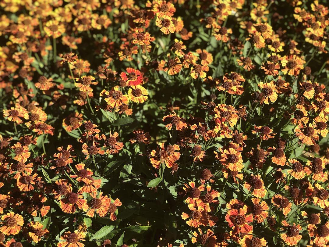 SneezeWeed, a Fall Perennial