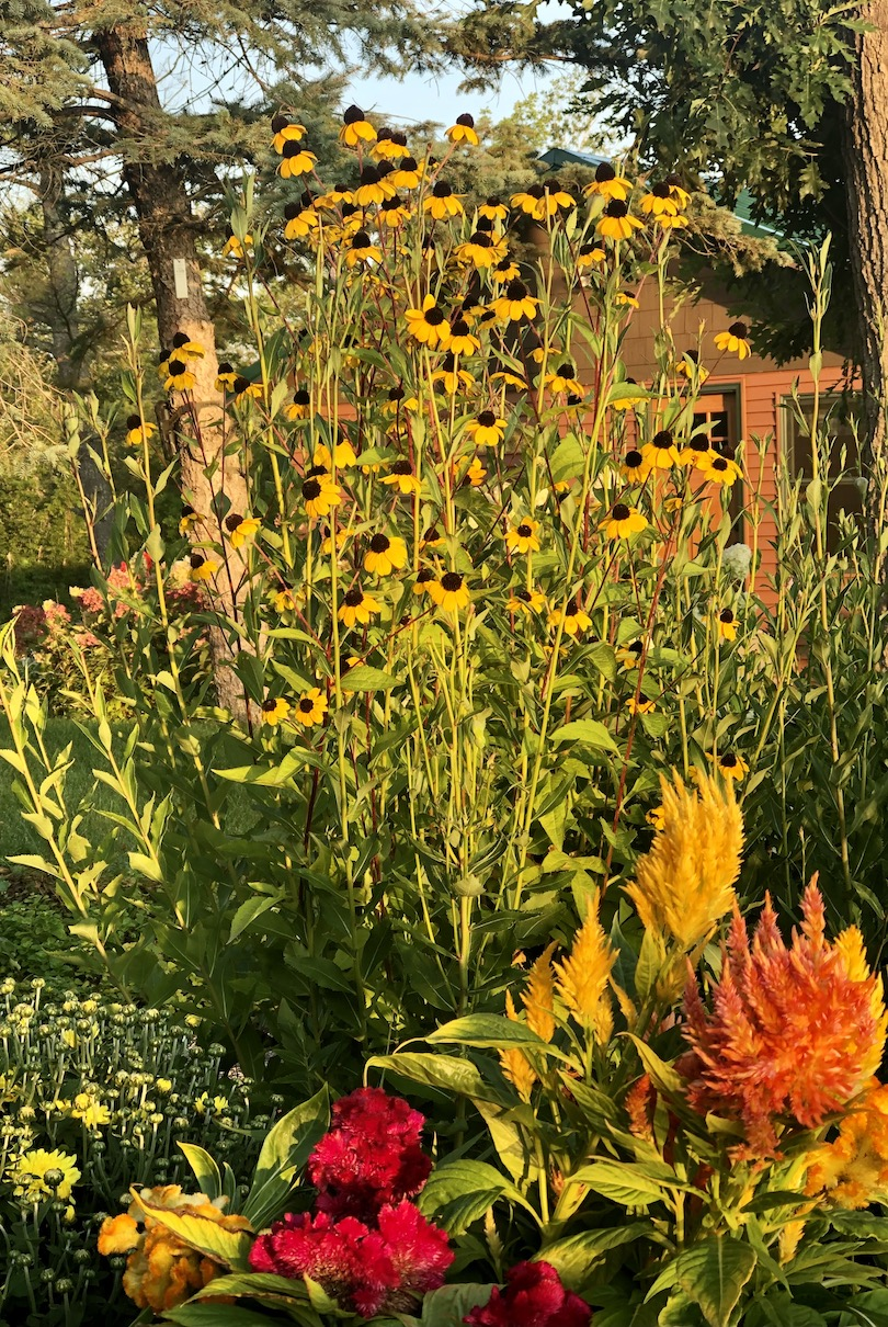 Sunflowers and Celosia