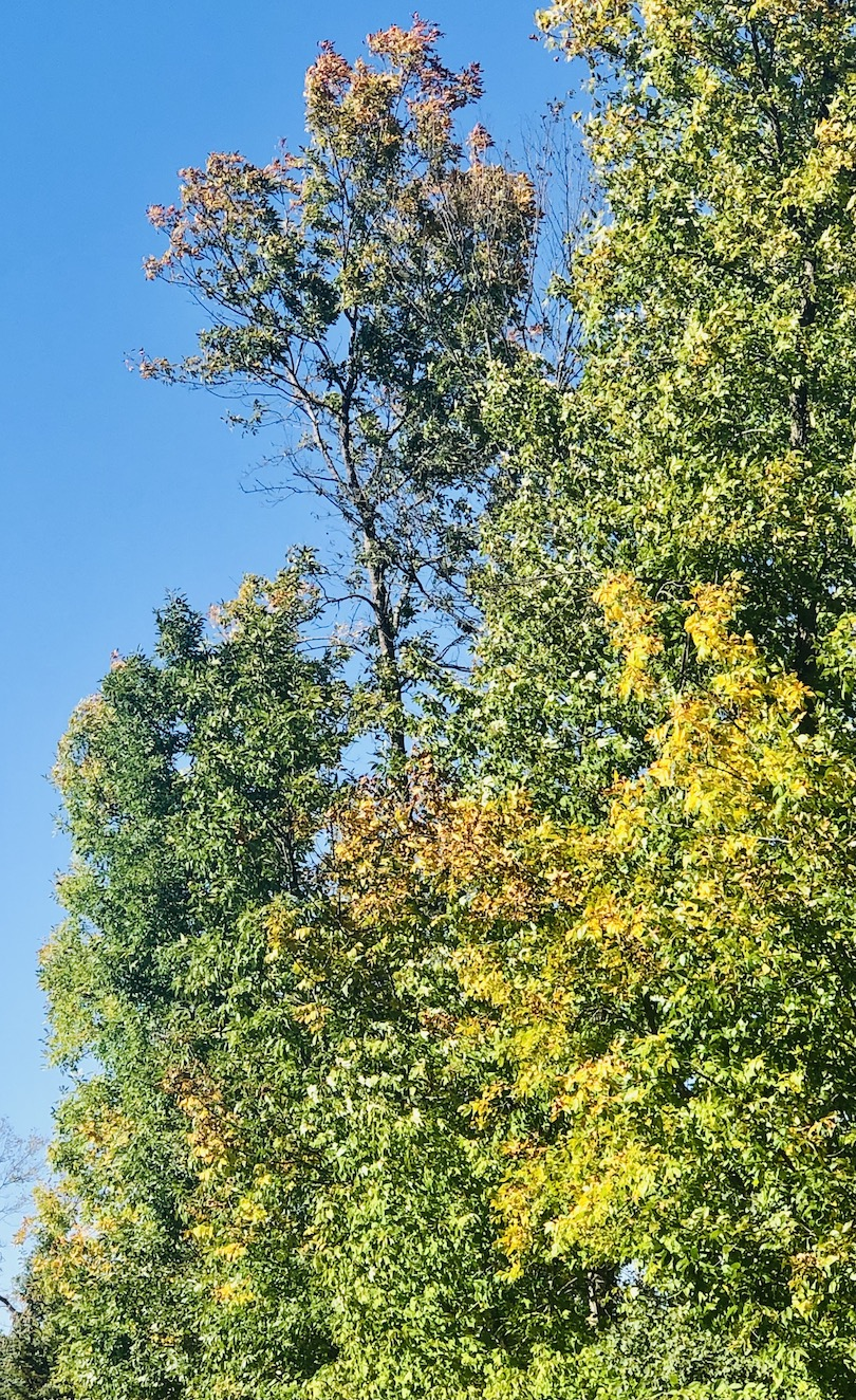 Trees change from green to gold